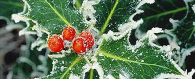 Holly leaves and berries frosted with snow.