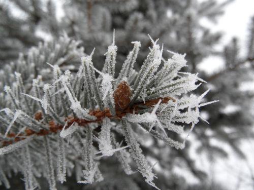 Frozen fir branch