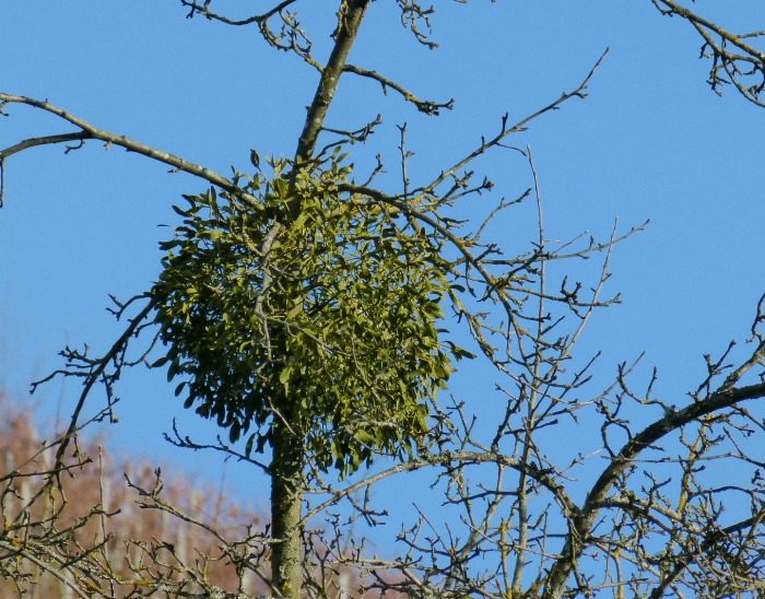 Mistletoe attached to a tree