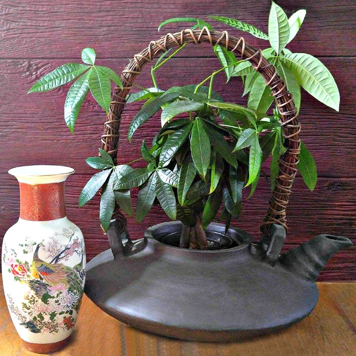 A braided money tree plant brings luck and prosperity to your home.