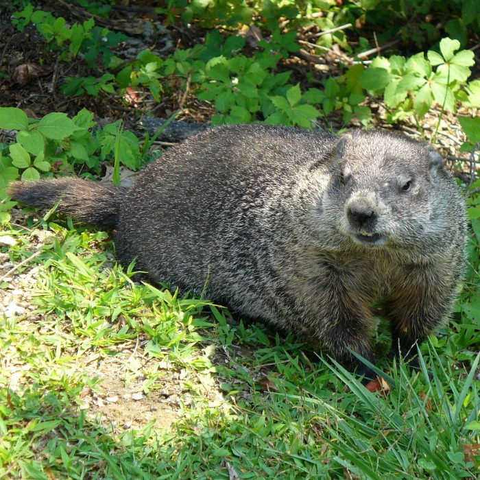 Groundhog in the sun