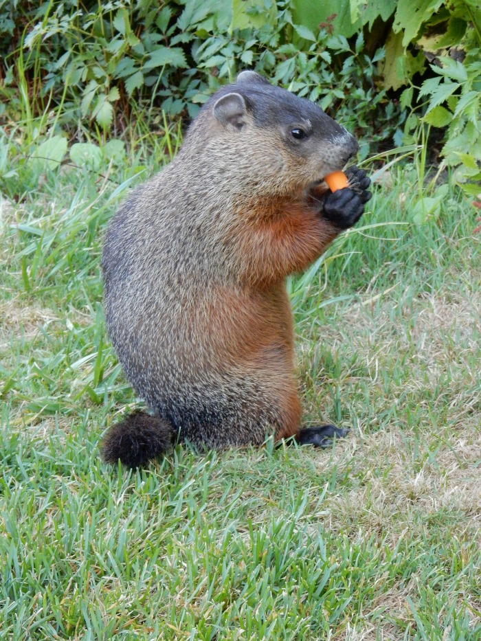Groundhog eating a carrot