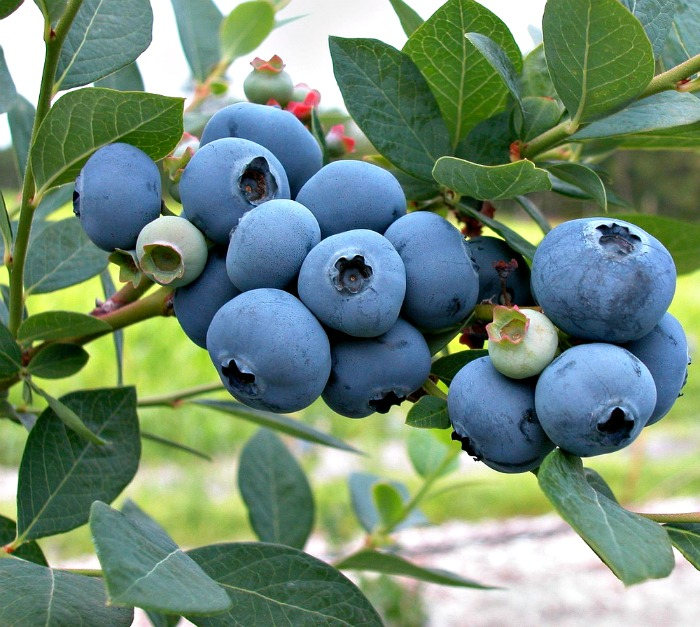 Fresh blueberry plant