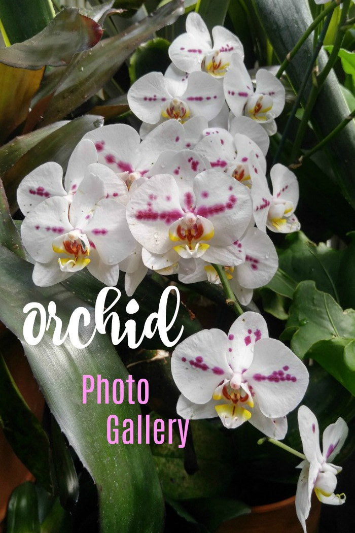 Take a virtual tour of my orchid photo gallery with these pictures of orchids