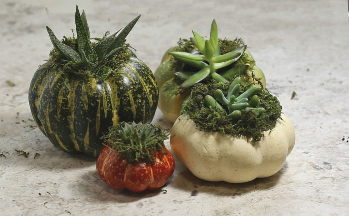 Mini Pumpkin Planters for Succulents - Fall Decor Idea