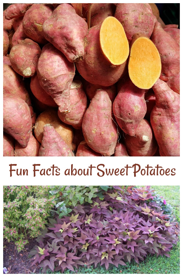 Discover some fun facts about sweet potatoes