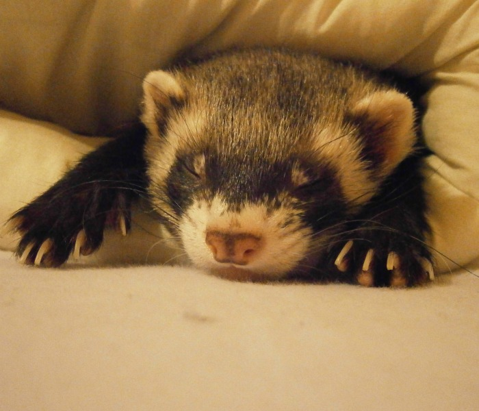 A sleeping ferret. Find out more about National Ferret Day.