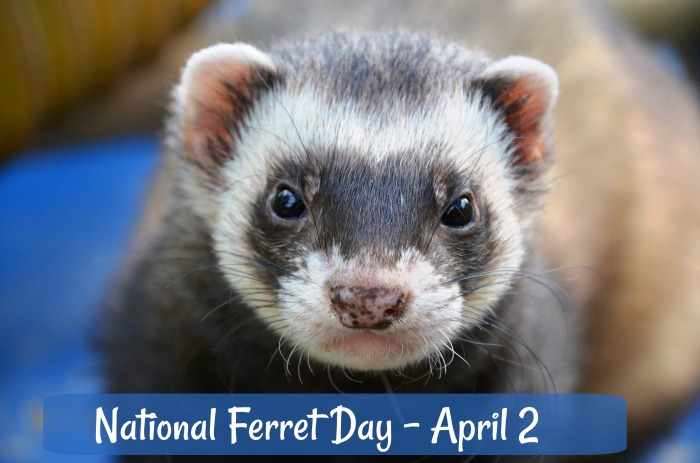 National Ferret day is celebrated each year on April 2.