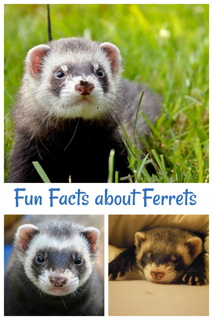 Do you like unusual animals? Check out these fun facts for ferrets.