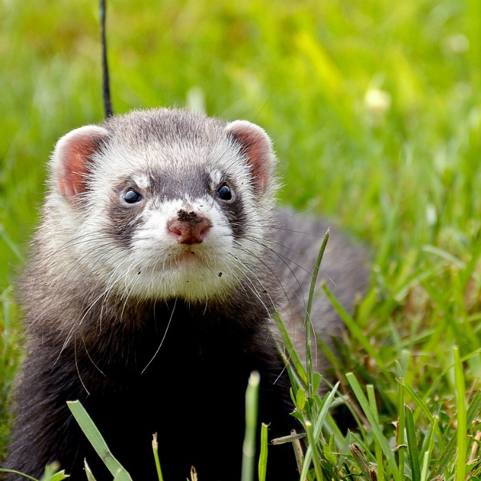 Ferrets can be trained to walk on a leash.