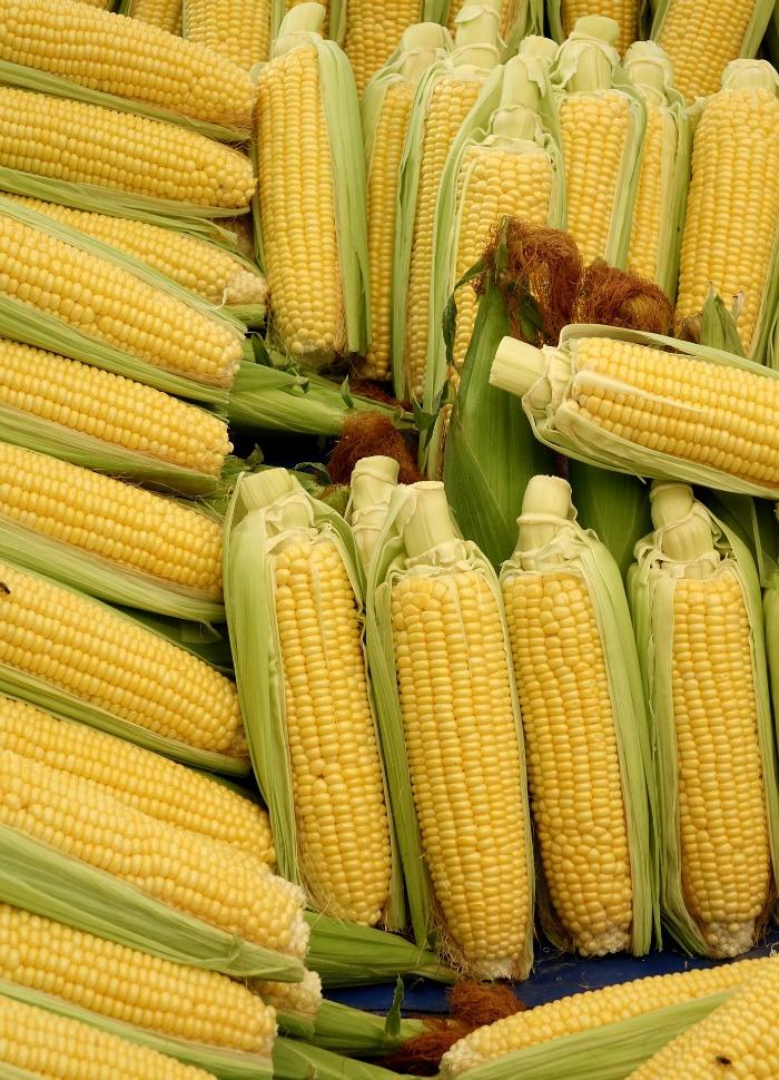 Ears of corn in husks