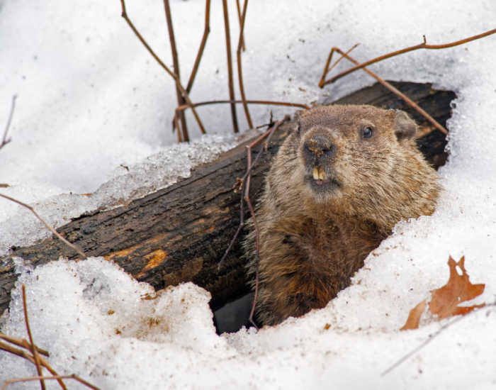 A groundhog in his den in the snow.