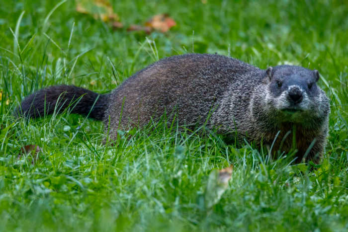Groundhog sitting in the grass.
