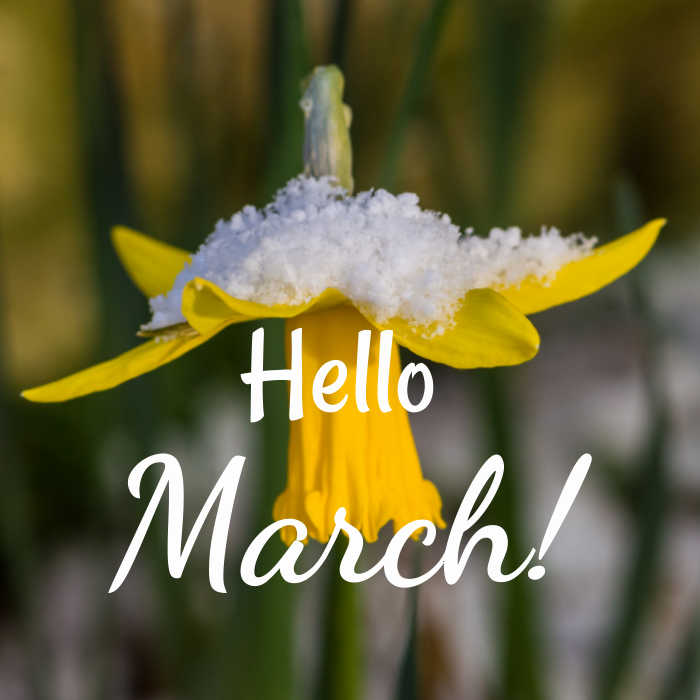 Daffodil in snow with words reading Hello March!