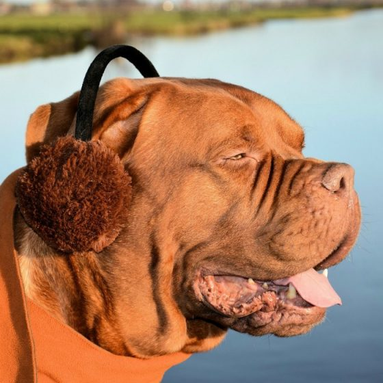 Dog wearing earmuffs