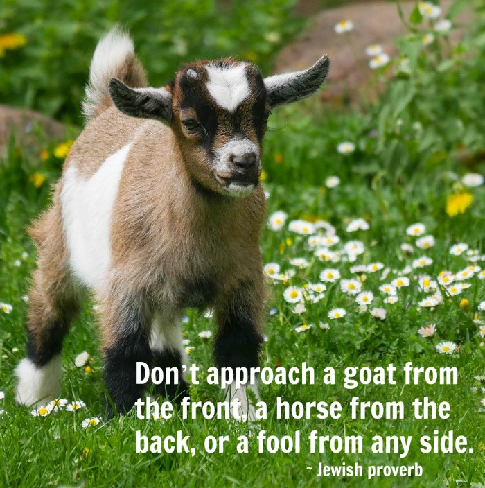 A baby goat in a field of daisies with a text overlay with a goat horse and fool quote.