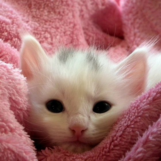 White kitten in a pink blanket