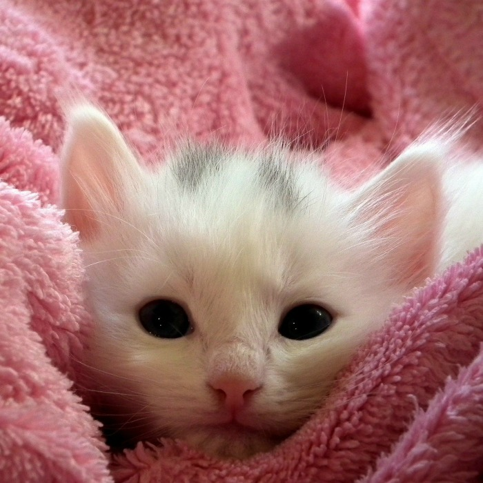 White kitten in a pink blanket.