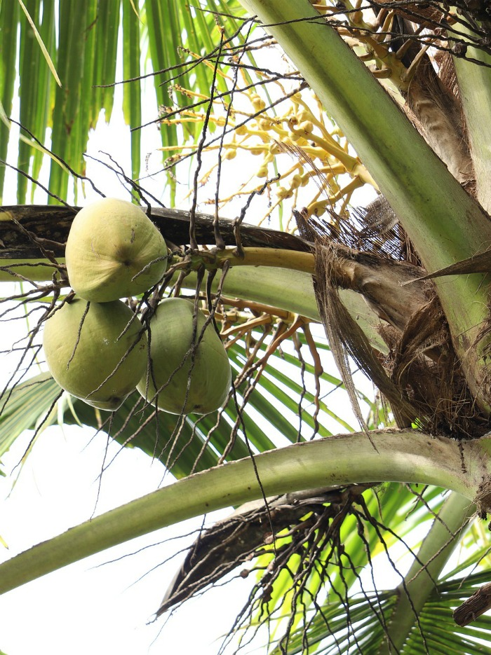 Three coconuts in a palm tree