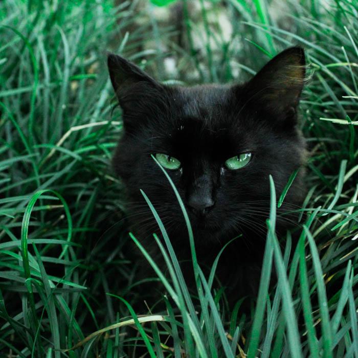 black cat in the grass