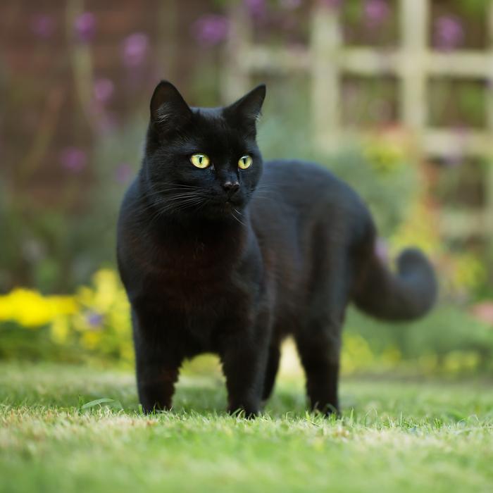 A pet black cat outside in the garden.