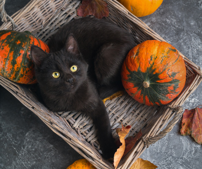 A festive black cat looking up at the camera from inside a basket with pumpkins.