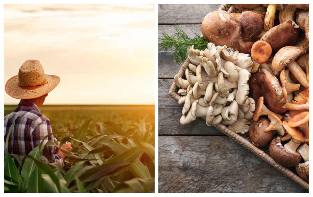 Farmer looking over a field and basket of mushrooms.
