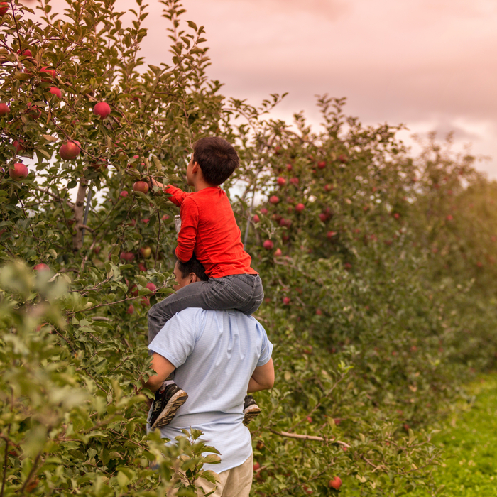 A father and son apple picking at dusk. The father is holding his son on his shoulders while the son reaches for an apple on a tree in an apple orchard.