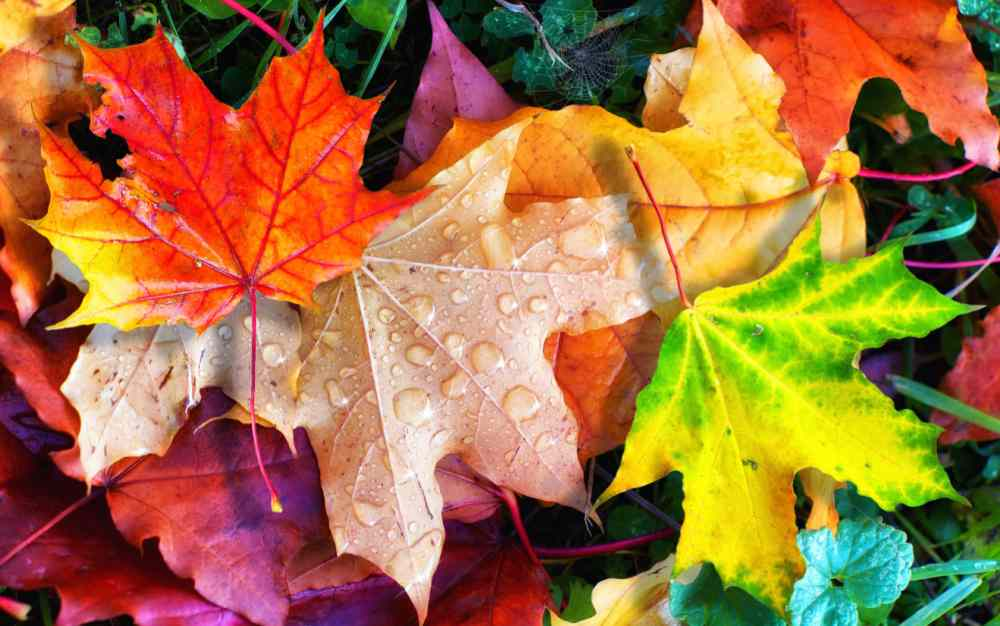 colorful fall leaves after a rain.