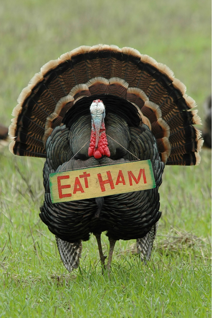 "A turkey with a funny Thanksgiving sayings ""eat ham"" as a sign around his neck."