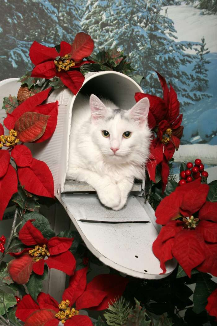 Decorating a mailbox for Christmas with a Poinsettia mailbox garland. White cat in a white mailbox.
