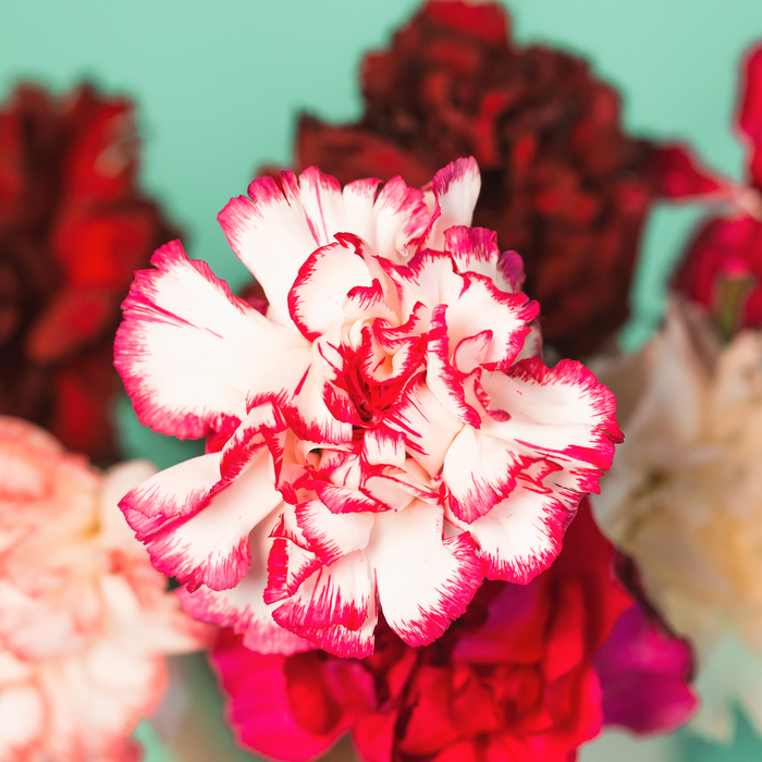 Different carnation colors on a blue background, a pink and white carnation is featured.