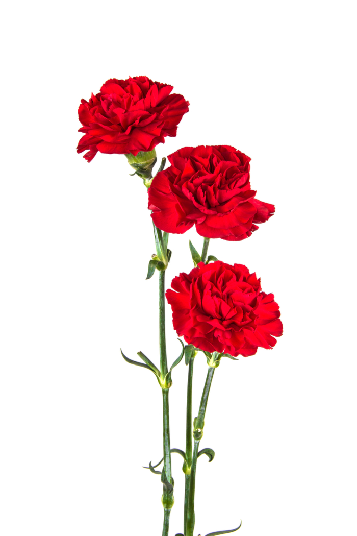 Three red carnations on a white background to remember President William McKinley.