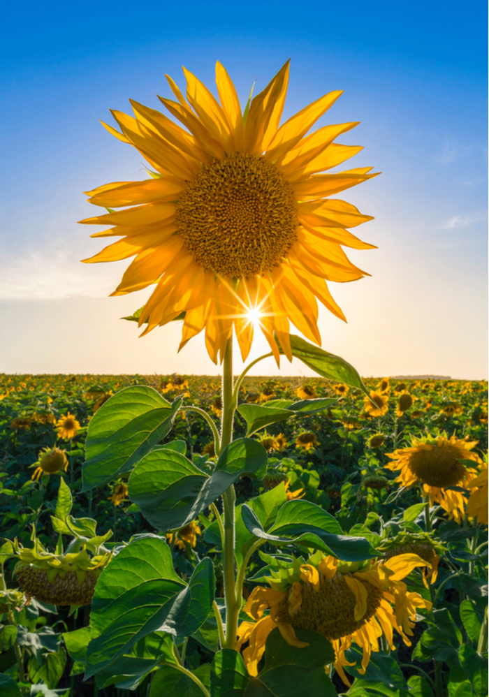 A close up shot of a sunflower in a field to symbolize a New Year full of possibilities.