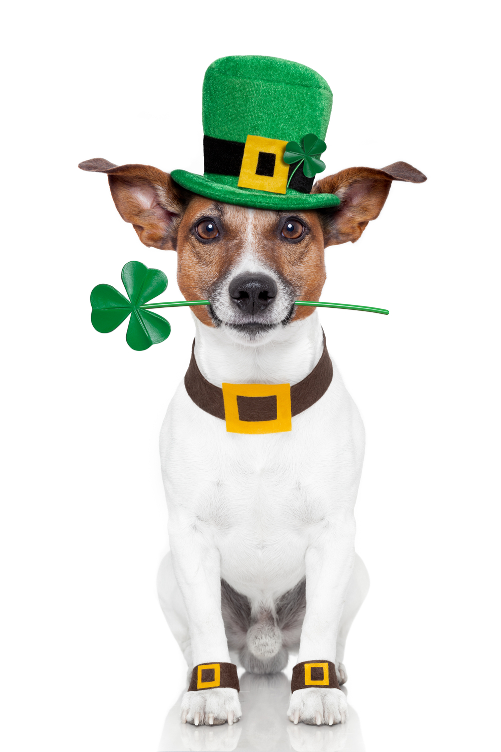 A St Patrick's Day lucky dog dressed up with a green hat, and a clover in his mouth.