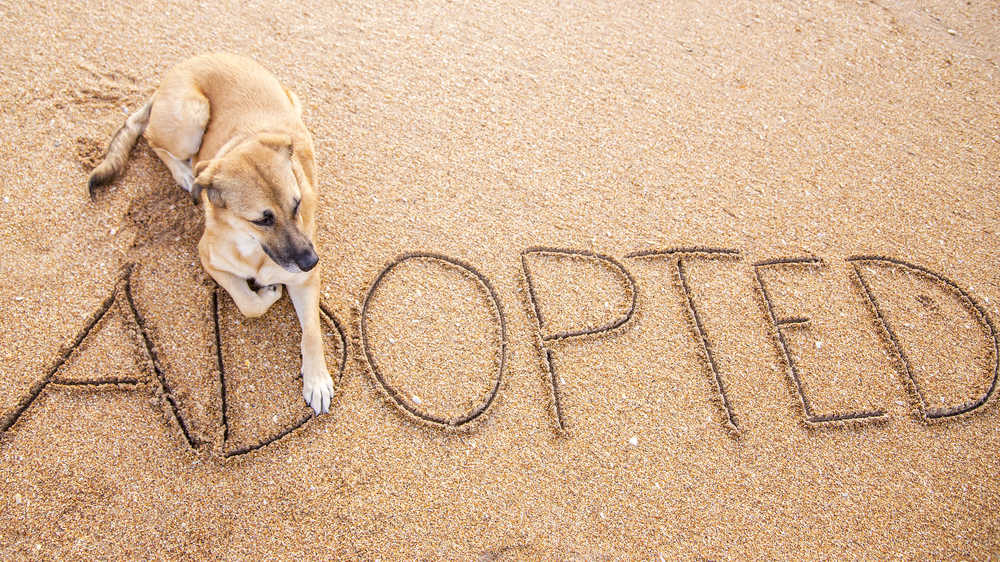 """German Shepherd mix dog sitting on the beach with the word """"adopted"""" written in the sand, to celebrate National Rescue Dog Day."""
