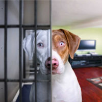 A dog in a living room with bars across half of his face, so he looks like a shelter dog on one side of the photo, and an adopted dog on the other side of the photo as a symbol of adopting shelter pets on National Rescue Dog Day.